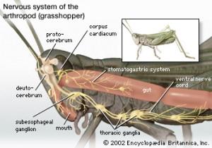 Grasshopper Nervous System
